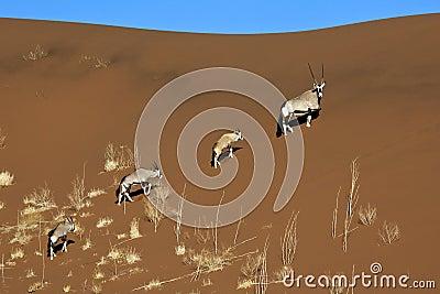 Gemsbok - Sossusvlei - Namibia