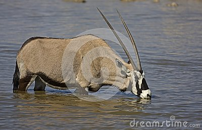Gemsbok standing in waterhole