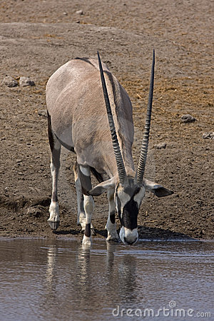 Gemsbok standing at waterhole