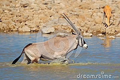 Gemsbok in water, Etosha
