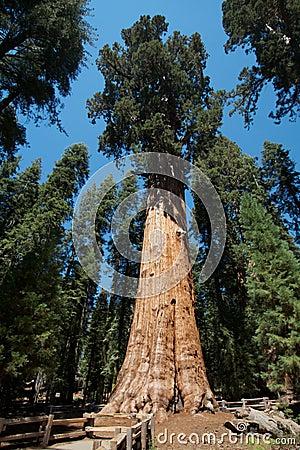 Generał drzewo Sherman