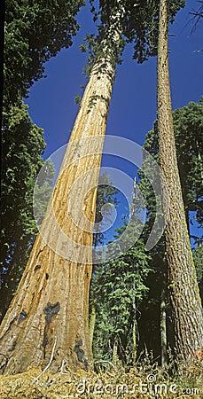Generał Sherman Drzewo
