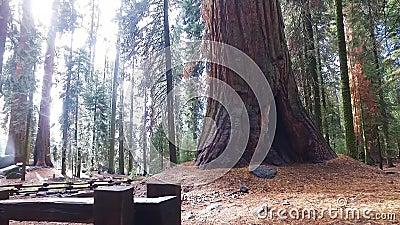 Generała Sherman drzewo na pogodnym spadku dniu w gigantycznym lesie zbiory wideo