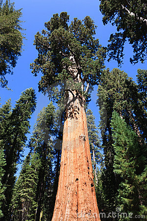 General Sherman (albero)