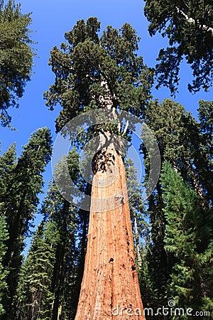 General Sherman (árvore)