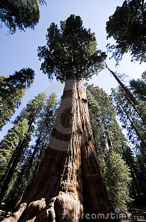 General Sherman Sequoia Árvore