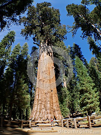 The General Sherman tree Editorial Stock Photo