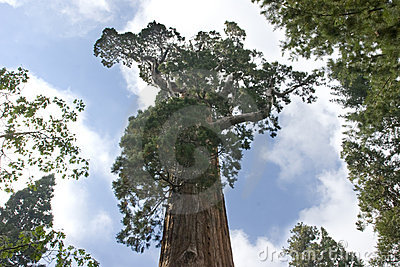 General Sequoia Tree