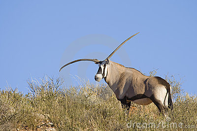 Genetic Defect Gemsbok