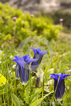 Gentian Flowers Stock Photos - Image: 26532613