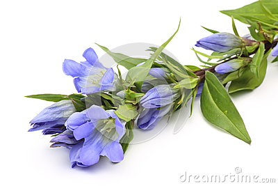 Gentian in a white background