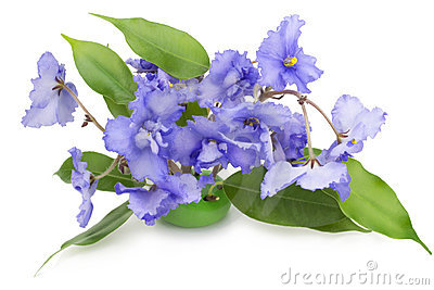 Gentle blue violets flowers