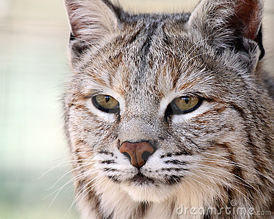 Gentle Bobcat