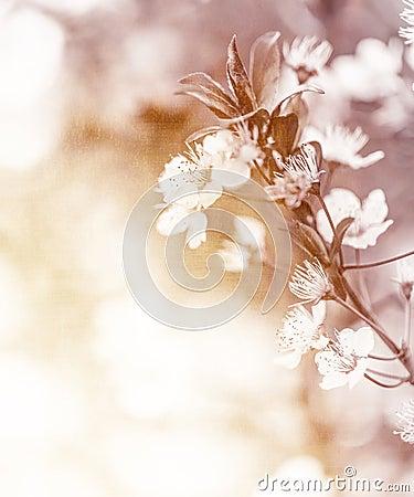 Gentle cherry flowers