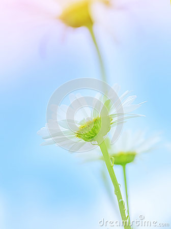 Gentle daisy flowers