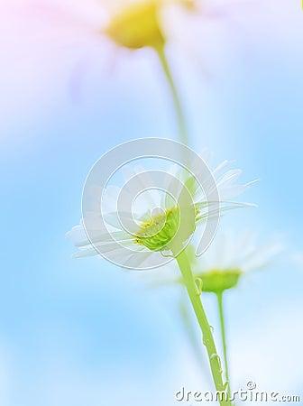 Gentle daisy flowers