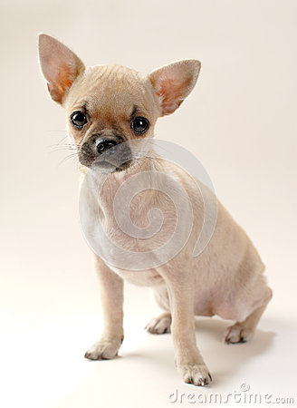 Gentle fawn Chihuahua puppy
