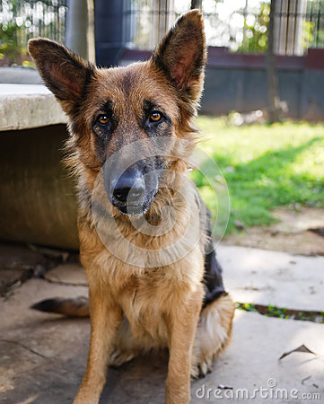 Gentle German Shepherd sitting on the ground Stock Photo