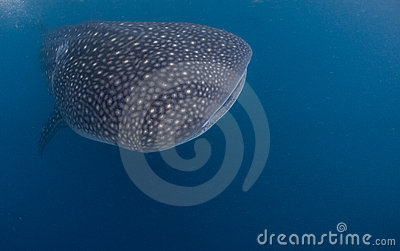 Gentle giant Whale Shark