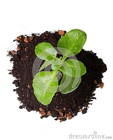 Gentle green crop in soil