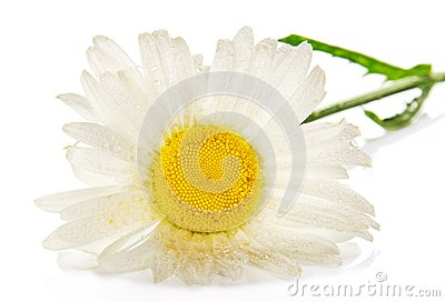 Gentle head of a camomile in the water drops