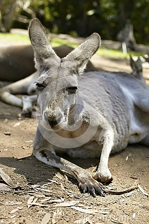 Gentle kangaroo lying on the ground