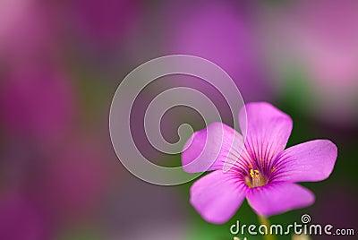 Gentle pink flower