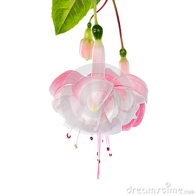 The gentle pink fuchsia is isolated on a white