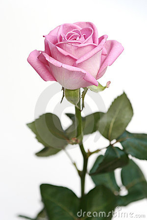 Gentle pink rose on a white ba