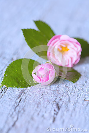 Gentle pink rose on wooden table
