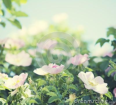 Gentle pink roses