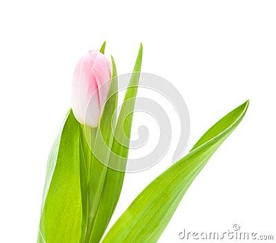 Gentle pink tulip