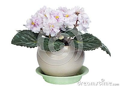 Gentle pink violets bush