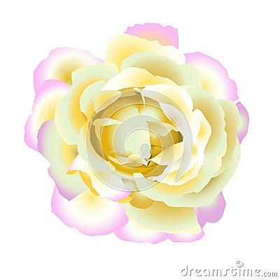 Gentle  rose