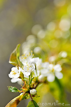 Free Gentle White Spring Flowers Stock Photography - 12090302
