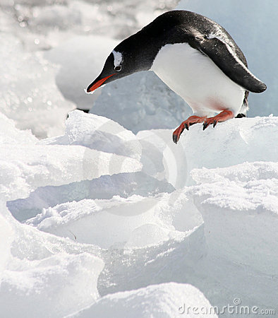 Free Gentoo On The Edge Royalty Free Stock Photos - 6676308