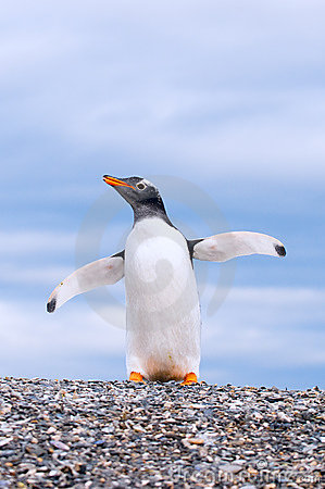 Free Gentoo Penguin Royalty Free Stock Images - 13647869