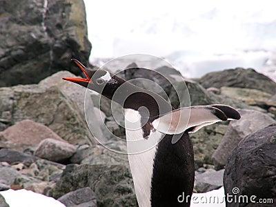 Gentoo penguin in Antarctic