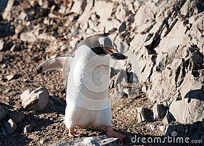 Gentoo penguin on the Antarctica beach