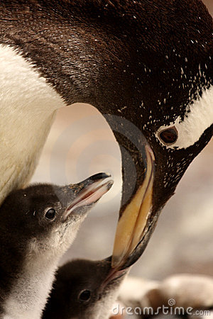 Free Gentoo Penguin Chick Royalty Free Stock Photo - 5222265