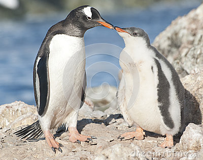 Gentoo penguin chick feeding.