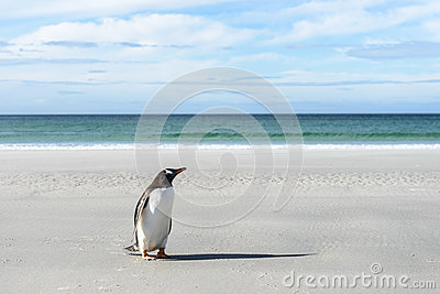 Gentoo penguin on the coast.