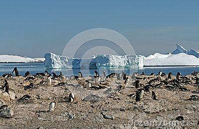 Gentoo penguin colony 3
