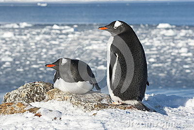 Gentoo penguin couple on the background of the ocean.