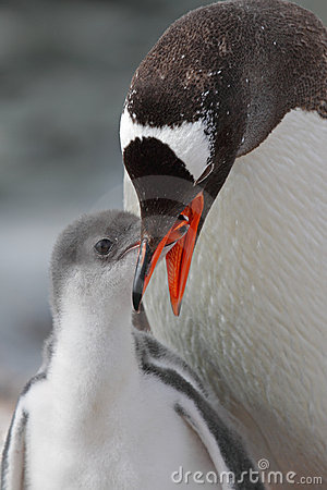 Free Gentoo Penguin Feeding Young, Antarctica Royalty Free Stock Image - 13210886