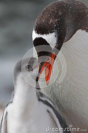 Gentoo penguin feeding young, Antarctica