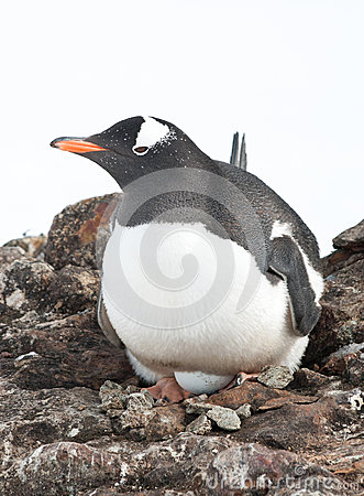 Gentoo penguin female incubates the eggs.