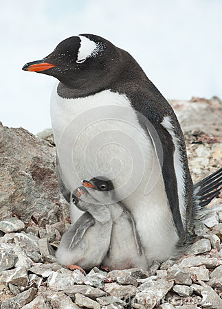 Gentoo penguin female sitting on the nest.