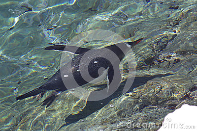 Gentoo penguin floating in the clear turquoise water of the Anta