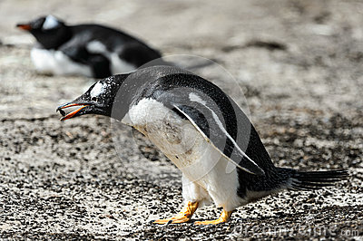 Gentoo penguin with food in the pick.